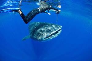 Whale-shark-featured-home